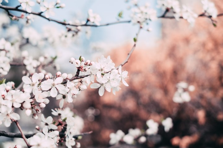 The wonderful time of the cherry blossom – Sakura